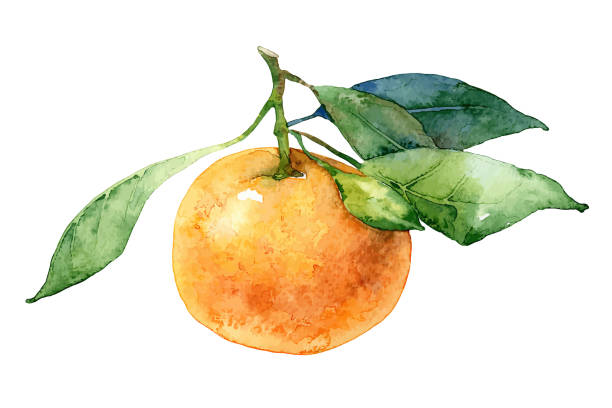 Single mandarin with leaves Single mandarin with leaves isolated on white background. Watercolor vector illustration tangerine stock illustrations