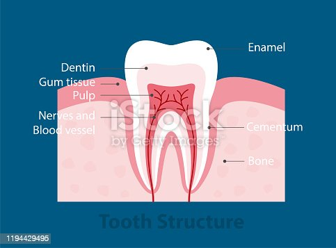 single tooth anatomy, diagram vector illustraion