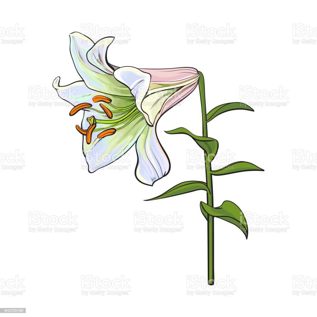 Single white lily flower with stem and leaves side view stock vector single white lily flower with stem and leaves side view royalty free single white izmirmasajfo