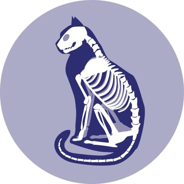 sitting cat skeleton. - animal skeleton stock illustrations