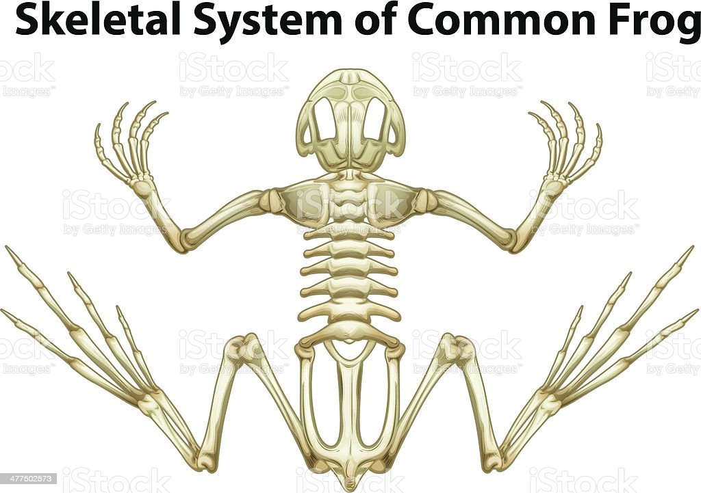 Ilustración de Esqueleto Sistema De Rana Común y más banco de ...