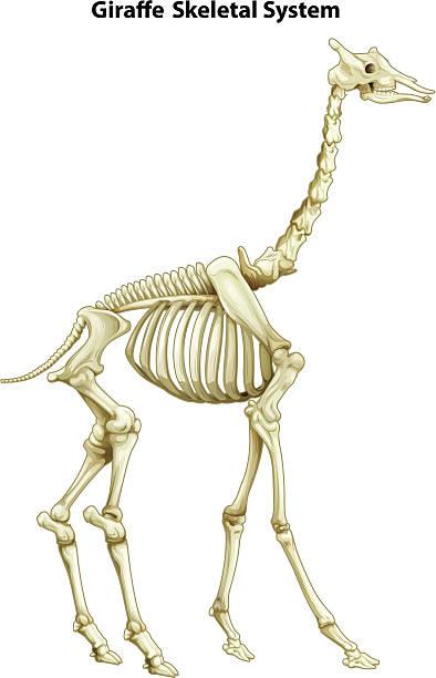 Skeletal system of a giraffe vector art illustration