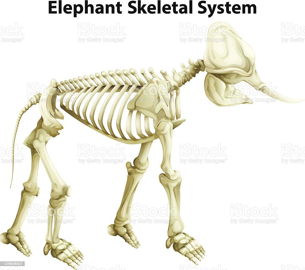 Esqueleto Un Sistema De Elefante - Arte vectorial de stock y más ...
