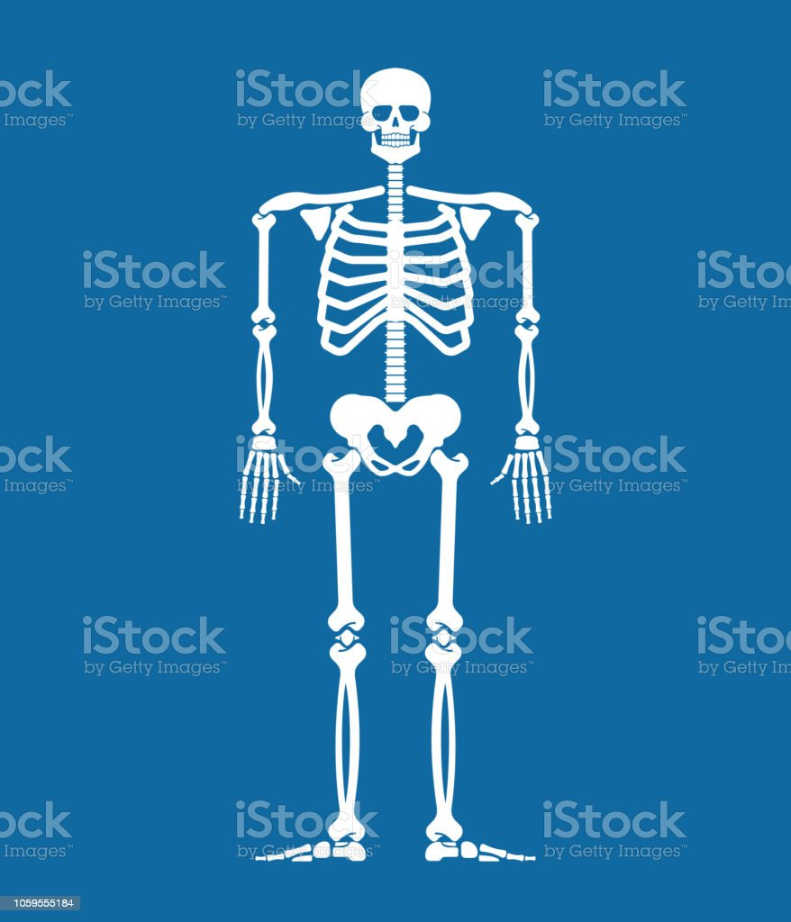 Skeleton Anatomy Human Skeletal System Cross Section Bones And Skull