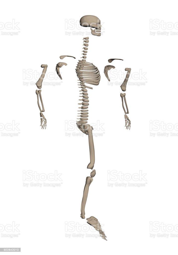 Skelett Am Knochen Abgebaut Stock Vektor Art und mehr Bilder von ...
