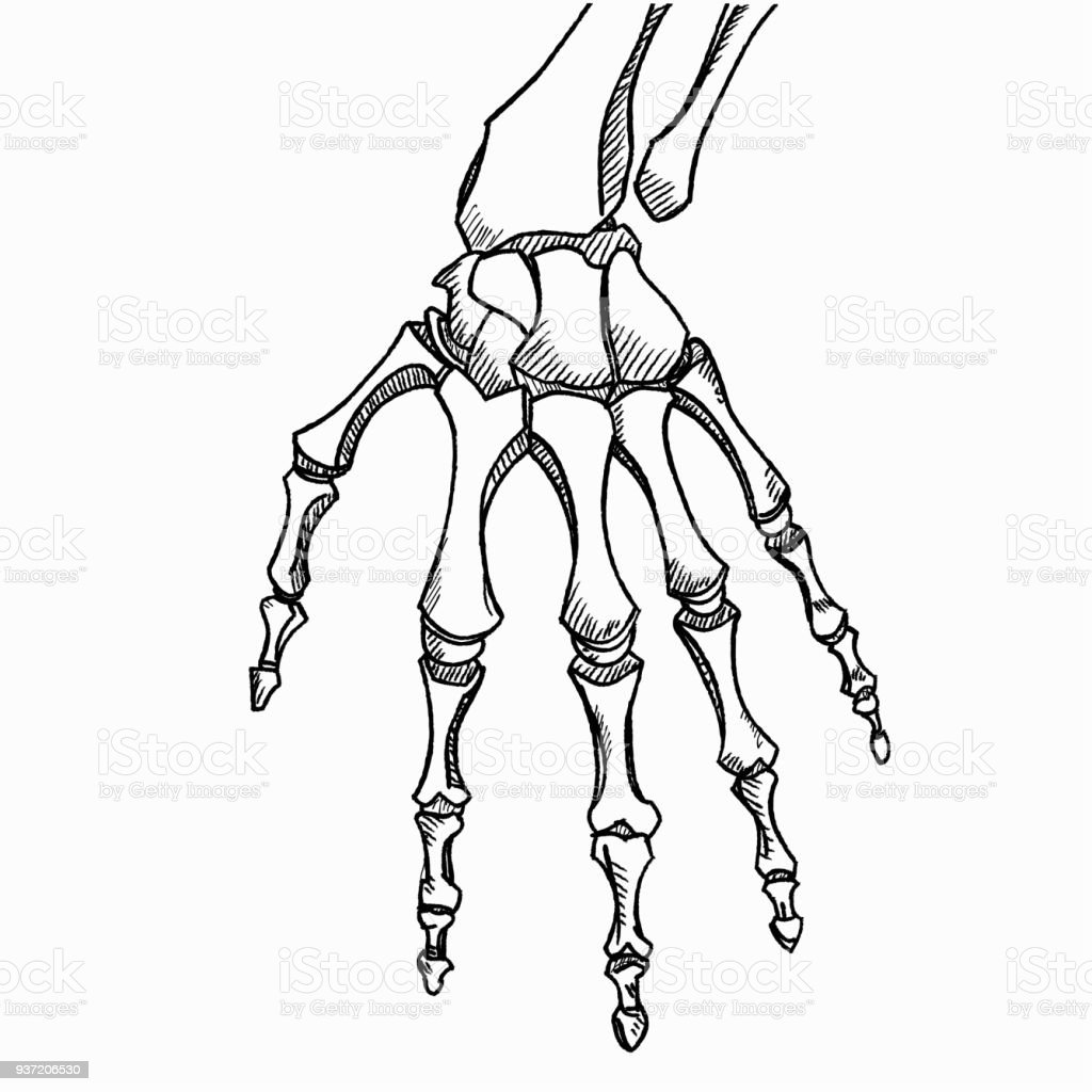 Skeleton hand vector. Sketch with hand bones isolated on white background  royalty-free skeleton