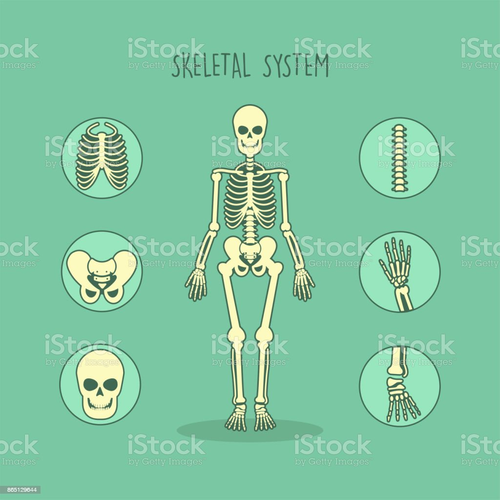 Skeleton Human Bones Anatomy vector art illustration
