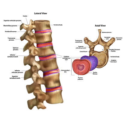 Skeleton. Intervertebral disc with the name and description of all sites.