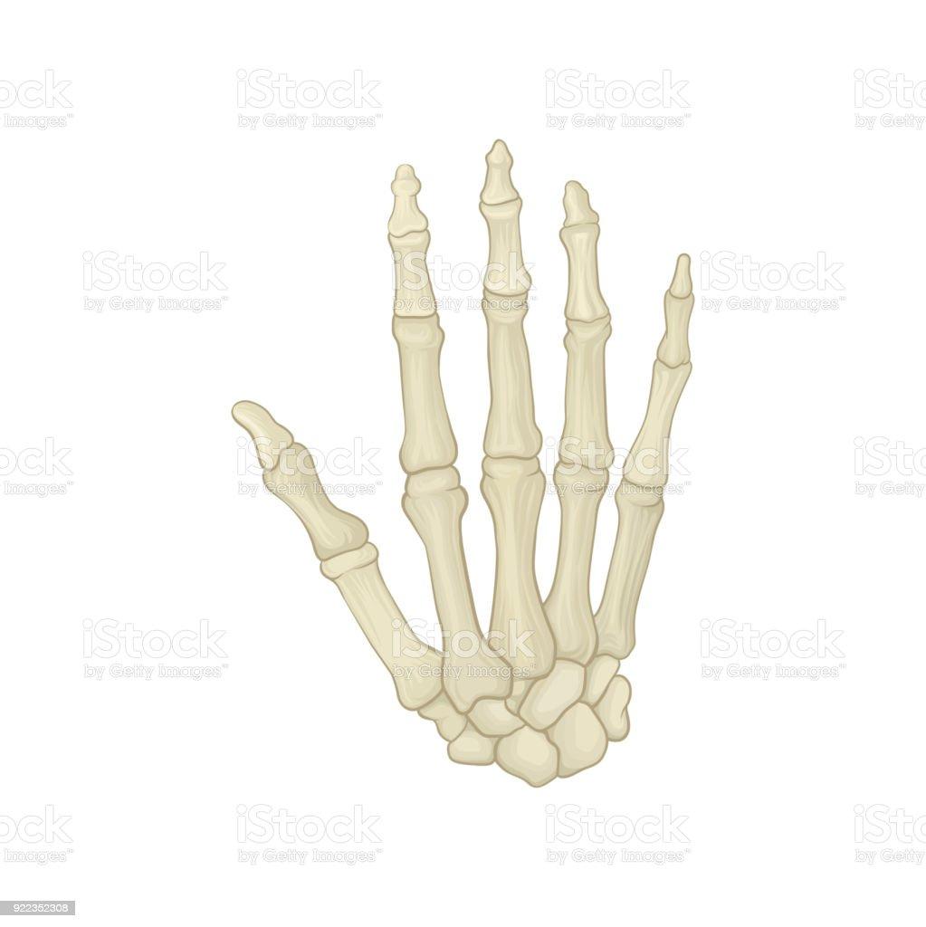 Ilustración de Esqueleto De La Mano Humana Huesos Del Carpo ...