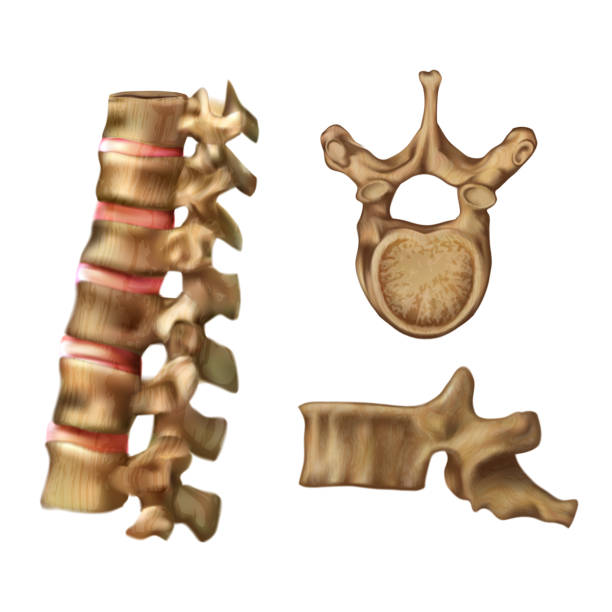 skeleton_spine (structure of the 6th vertebra) - physical therapy stock illustrations