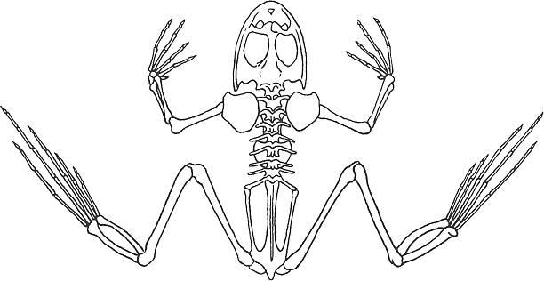 Best Frog Skeleton Illustrations, Royalty-Free Vector ...