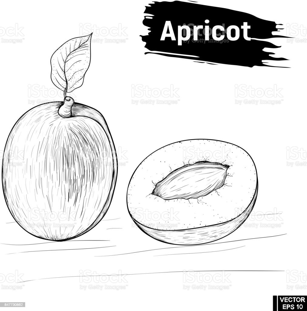 Kayısı Meyve El çizimi Kroki Stok Vektör Sanatı Boyanin Daha