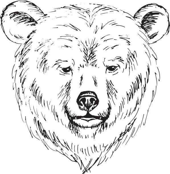 Bear Face Line Drawing : Royalty free grizzly bear face clip art vector images