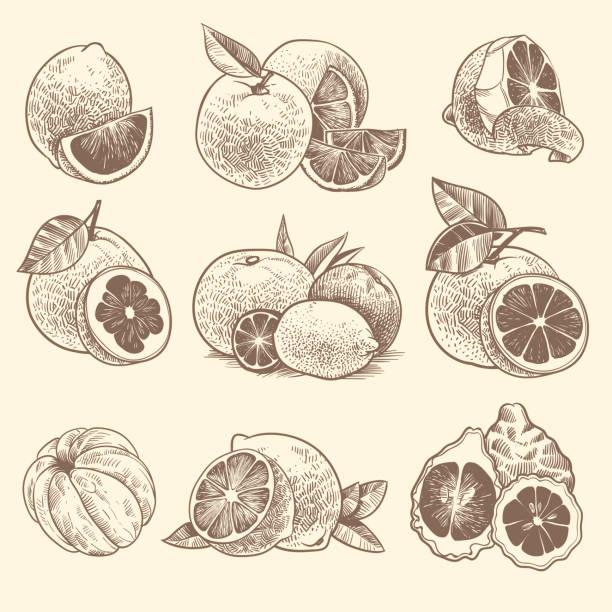 スケッチ柑橘類。オレンジ、レモン、グレープフルーツ、ライムシトラスフルーツと葉の花。手描きヴィンテージ植物ベクトルセット - グレープフルーツ点のイラスト素材/クリップアート素材/マンガ素材/アイコン素材