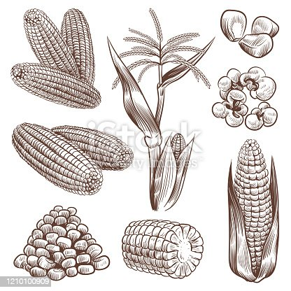 Sketch corn. Hand drawn vintage drawing cereal plants agriculture maize, healthy corn cob and grains, popcorn for fast food packaging, menu vector engraving set