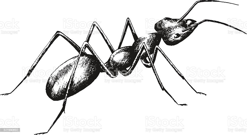 sketch drawing of an ant vector art illustration