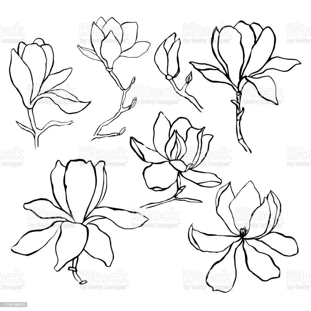 Sketch Floral Botany Collection Magnolia Flower Drawings Modern