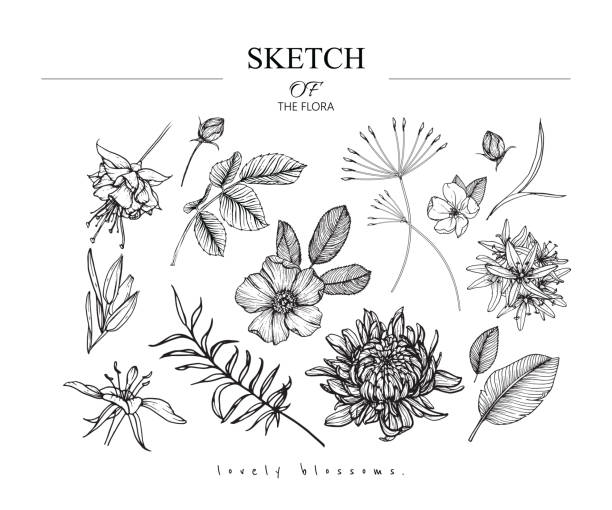 Sketch Floral Botany set. Sketch Floral Botany set. Chrysanthemum,Fuchsia,Wild rose, Camassia,Primrose flower and leaf drawings. Black and white with line art on white backgrounds. Hand Drawn Illustrations.Vintage styles. apple blossom stock illustrations