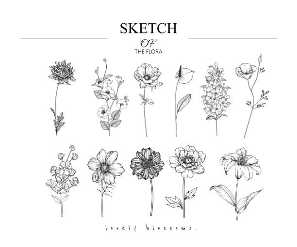 Sketch Floral Botany set. Sketch Floral Botany set.  Variety flower and leaf drawings. Black and white with line art on white backgrounds. Hand Drawn Illustrations. Vector. Vintage styles. sketch stock illustrations