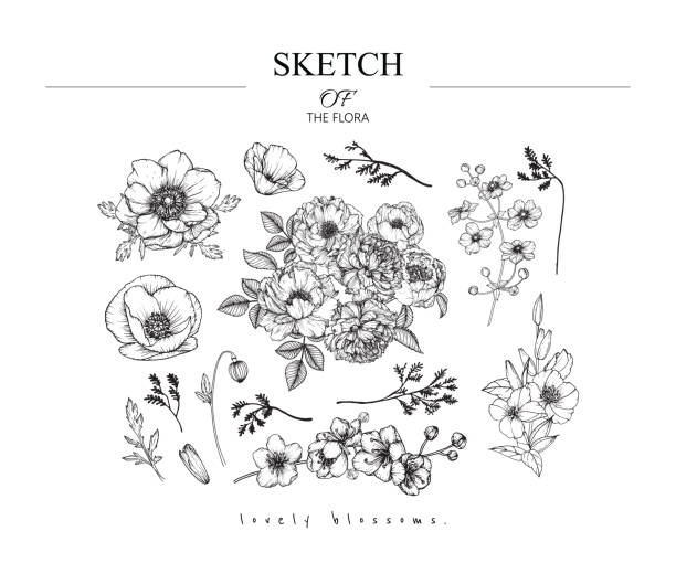 Sketch Floral Botany set. Vintage styles. Sketch Floral Botany set. Peony,Anemone,Poppy,Primrose, Sakura, California poppy flower and leaf drawings. Black and white with line art on white backgrounds. Hand Drawn Illustrations.Vintage styles. primula stock illustrations