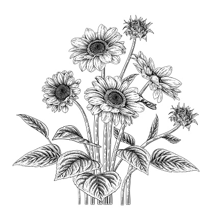 Sketch Floral decorative set. Sunflower drawings. Black and white with line art isolated on white backgrounds. Hand Drawn Botanical Illustrations. Elements vector.