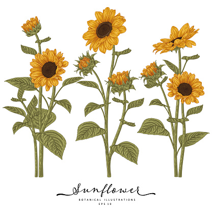 Sketch Floral decorative set. Sunflower drawings. Highly-detailed line art isolated on white backgrounds. Hand Drawn Botanical Illustrations. Elements vector.