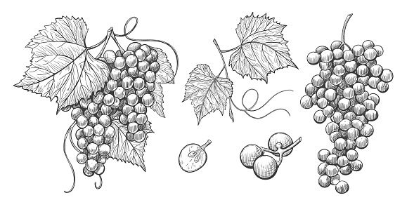 Sketch Grape bunches with leaves, vintage illustration of wine grape.