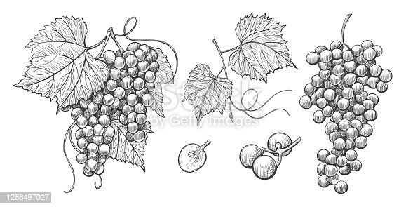 Grape bunches vector hand drawn icons, grape isolated elements on white background, ink style. Bunch of grapes on a stem with leaves.