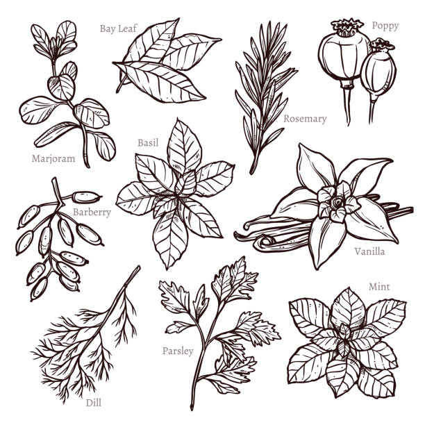 Sketch Herbs And Spice Collection Sketch Herbs And Spice Collection dill stock illustrations