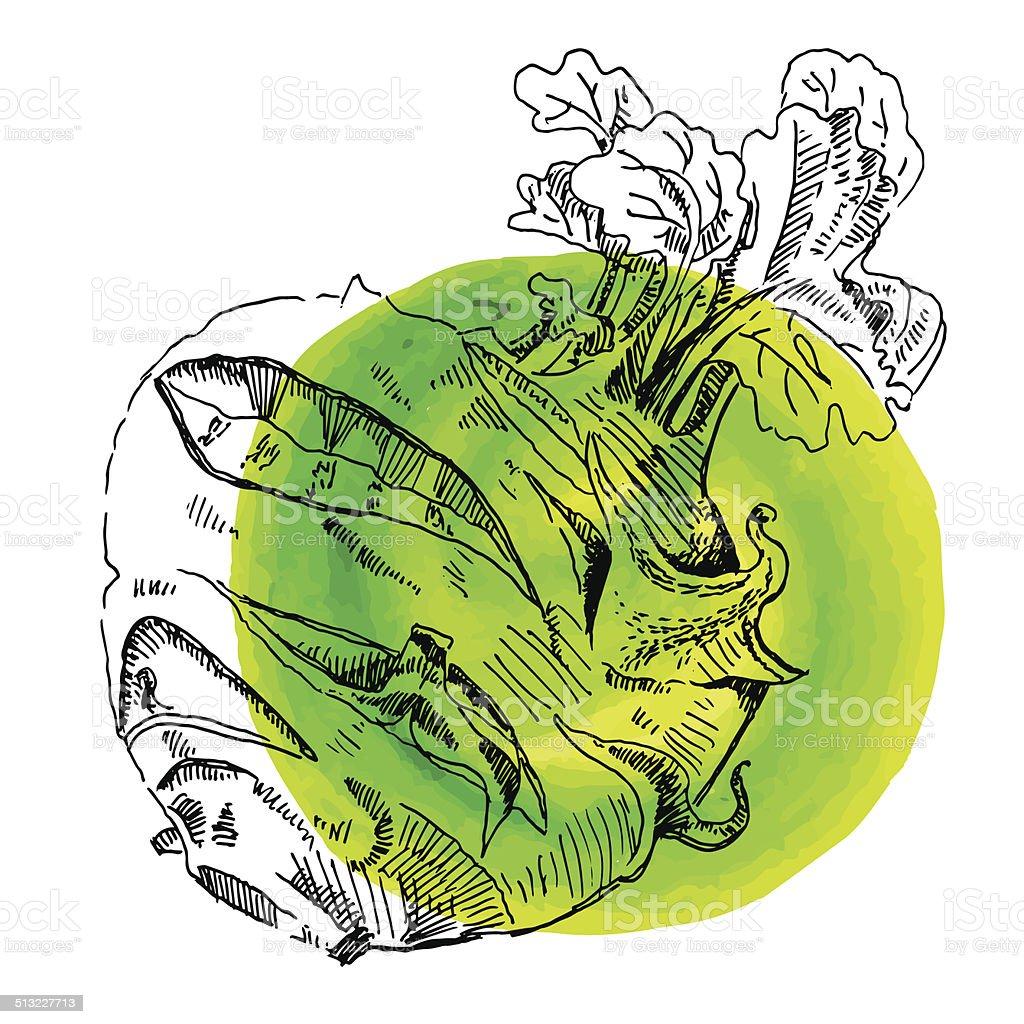 sketch illustration harvest kohlrabi vector art illustration