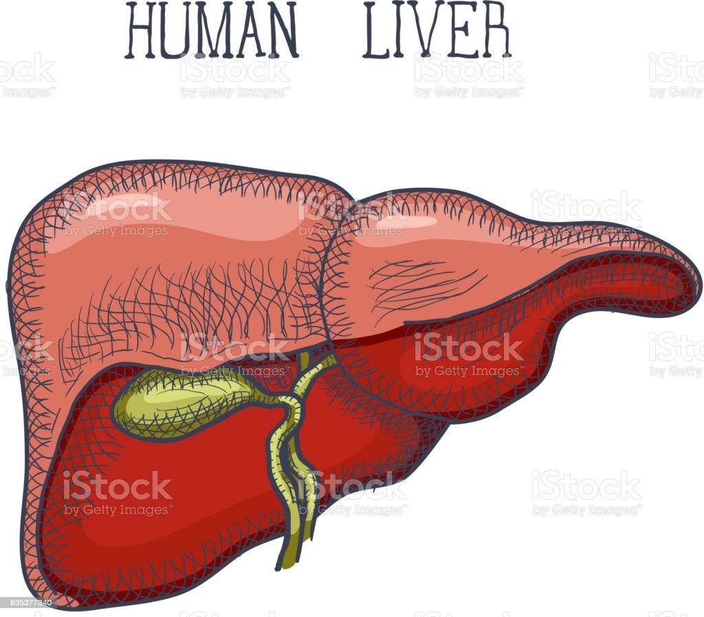Skizzieren Sie Tinte Menschlichen Leber Handgezeichnete Graviert ...