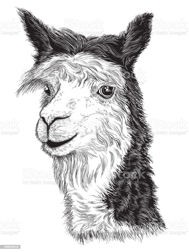 sketch of a Alpaca's face vector art illustration