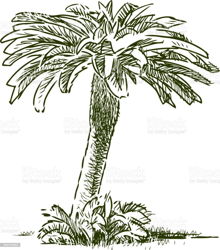 Sketch of a small tropical palm tree vector art illustration