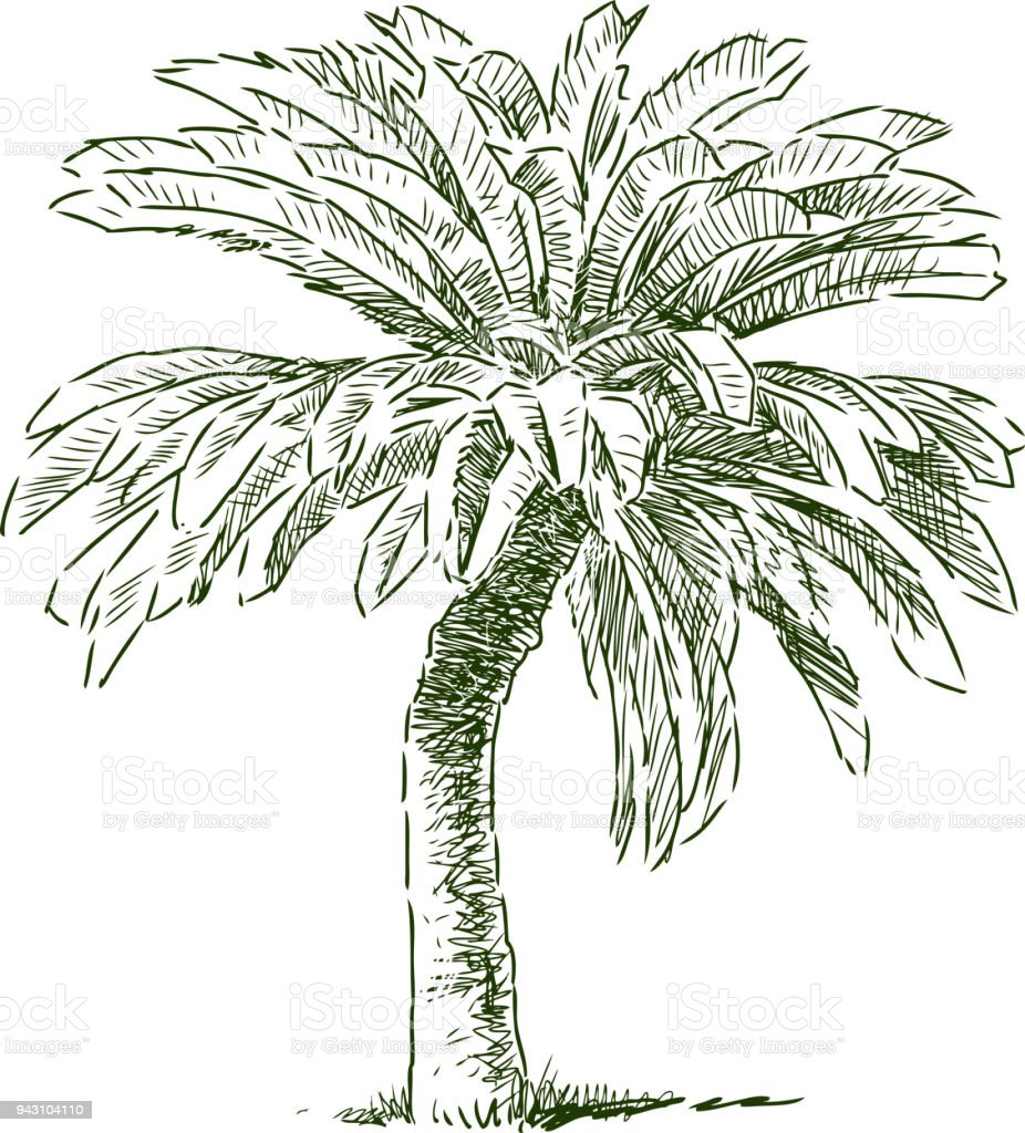 Sketch of a tropical palm tree vector art illustration