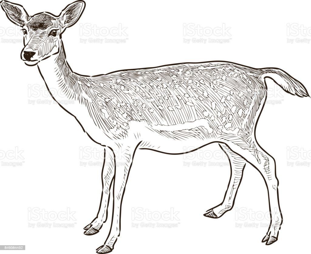 sketch of a young deer vector art illustration