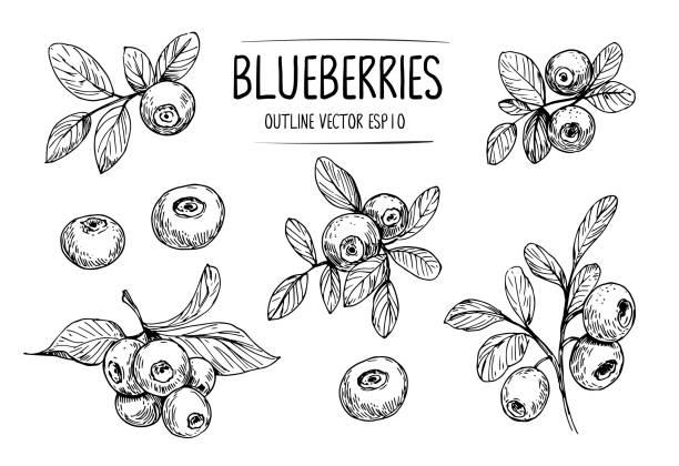 illustrazioni stock, clip art, cartoni animati e icone di tendenza di sketch of blueberry. hand drawn outline converted to vector - mirtilli