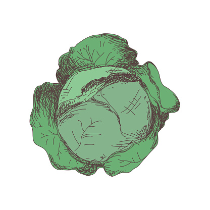 Sketch of cabbage contour drawing isolated on white background, stock vector illustration, for design and decoration, sticker, template, vintage, banner, vegetables