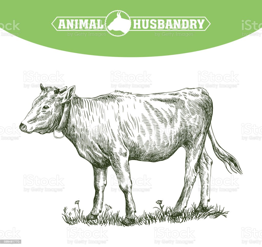 sketch of calf drawn by hand. livestock. cattle. animal grazing vector art illustration