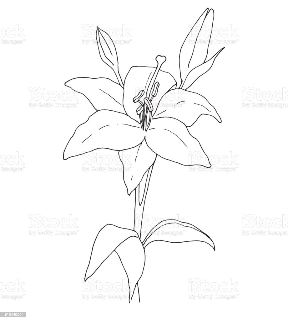 Sketch Of Flowers Lily Isolated On White Background Vector