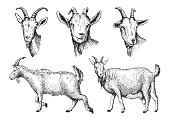 sketch of goat drawn by hand. livestock. animal grazing