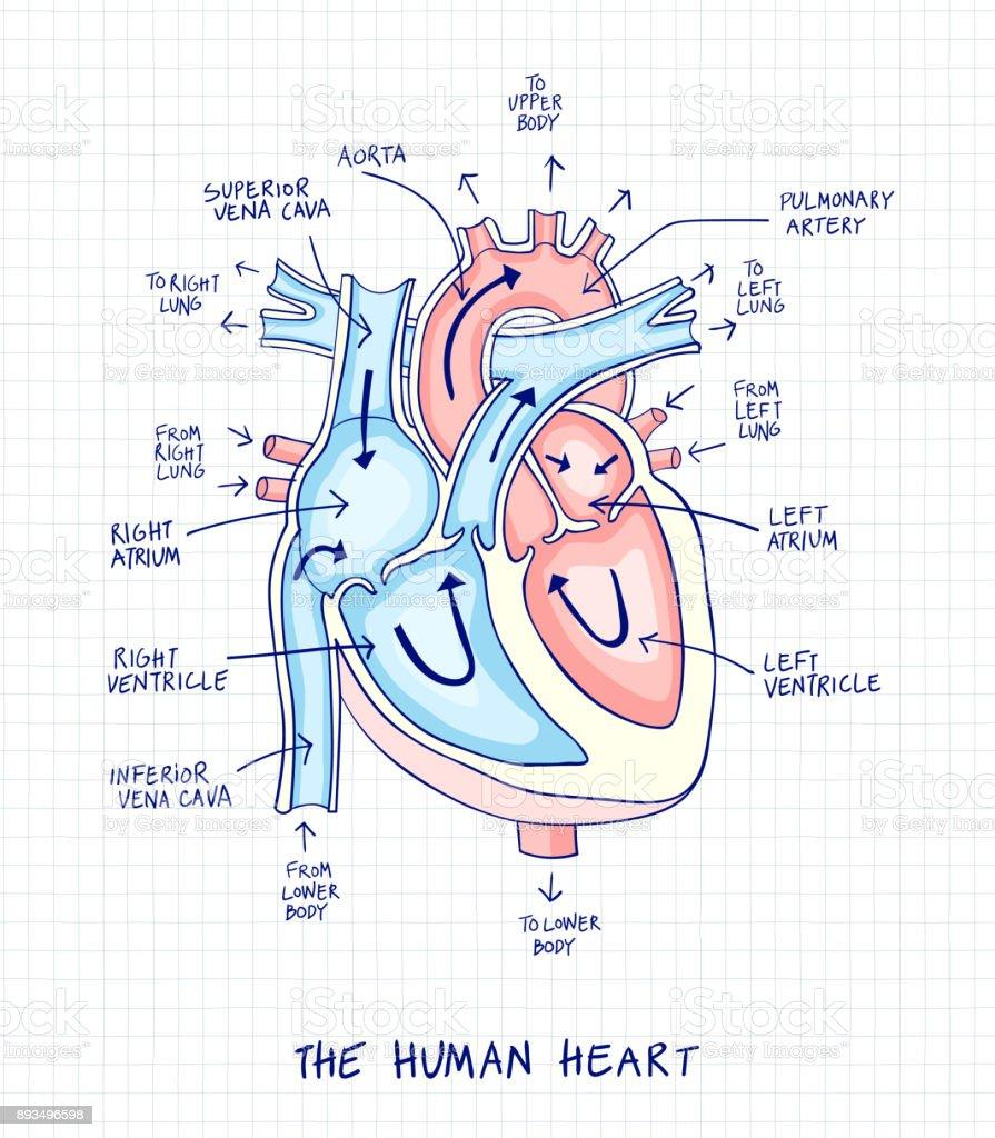 Ilustración de Dibujo De La Anatomía Del Corazón Humano Con La Mano ...