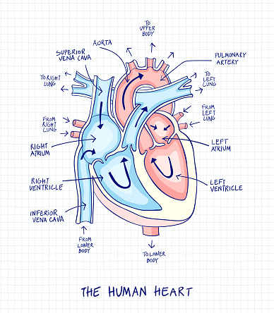 Sketch Of Human Heart Anatomy With Hand Written Labels ...