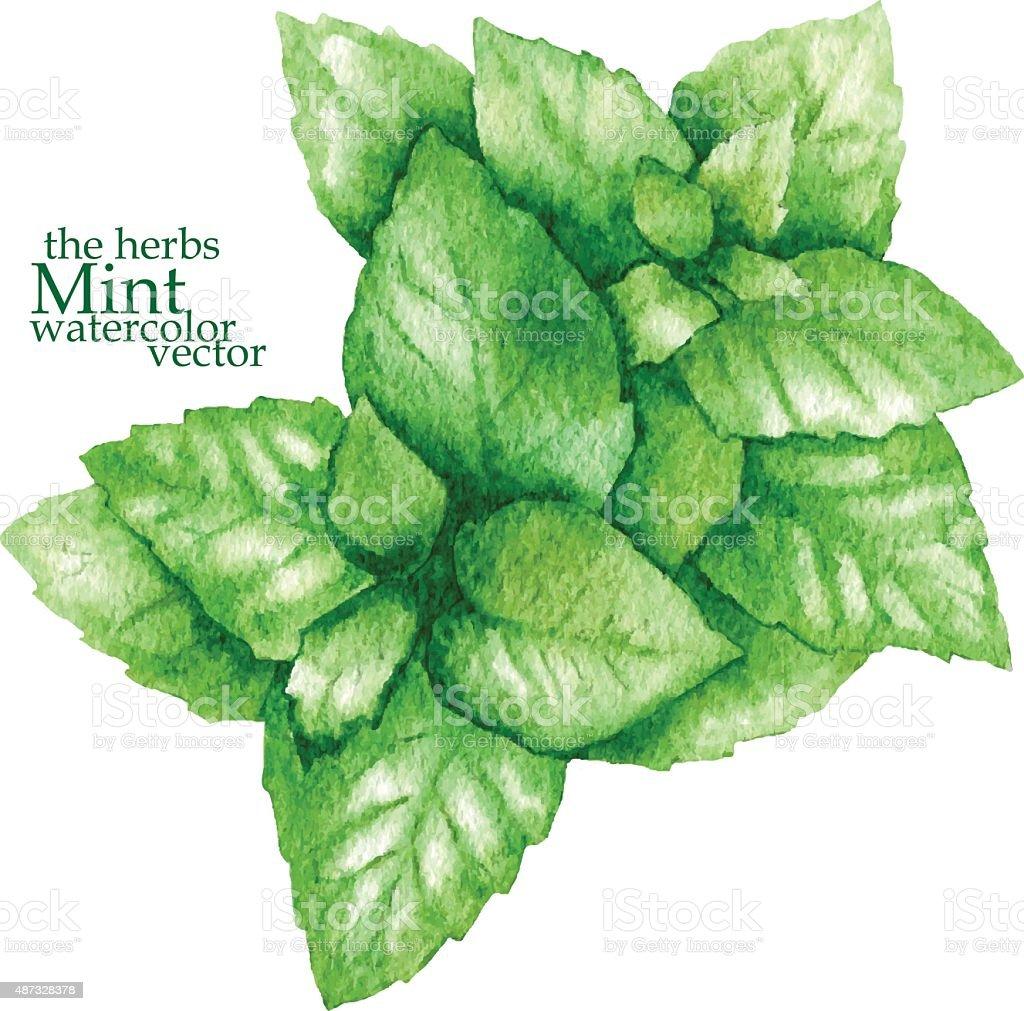 Sketch of mint. Vector illustration. vector art illustration