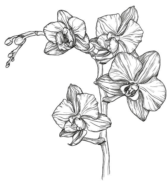 sketch of Orchid flower blossom Vector sketch of Orchid flower blossom orchid stock illustrations