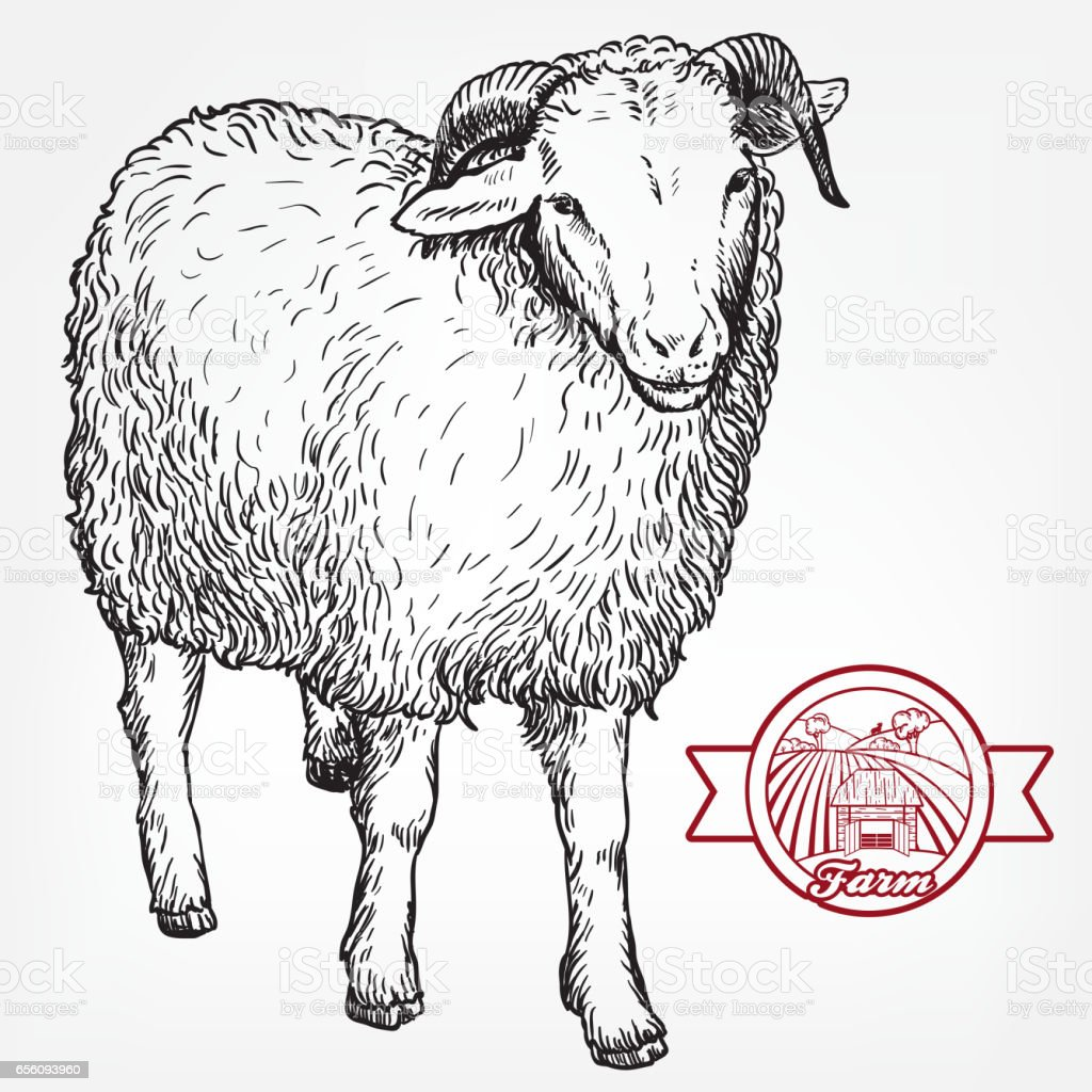 sketch of sheep drawn by hand animal husbandry royalty free stock vector art
