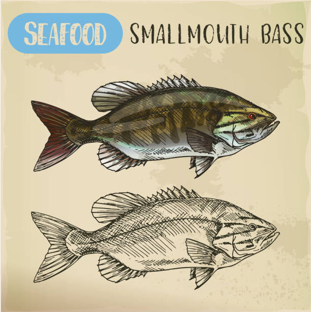 Sketch of smallmouth or brown, bronze bass vector art illustration