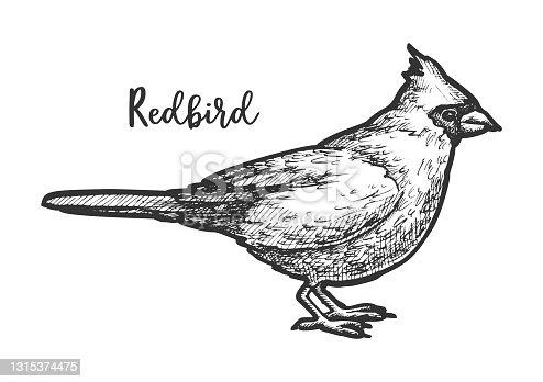 istock Sketch of songbird or hand drawn redbird 1315374475