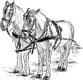 Hand drawing of the standing harnessed white horses.