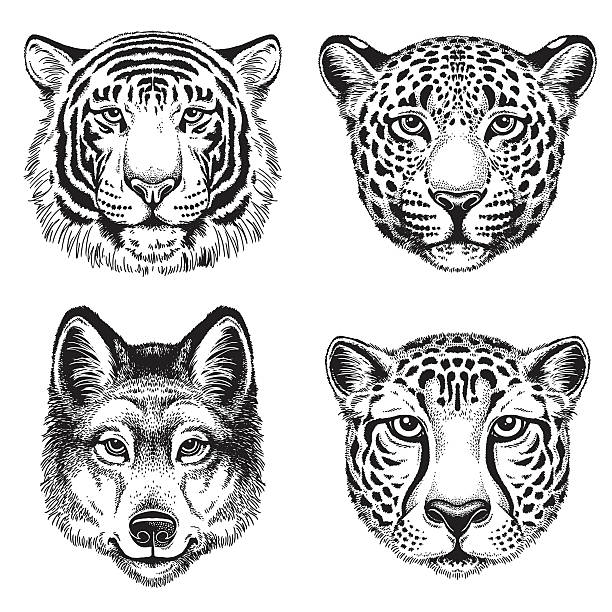 Sketch of wild animal faces Black and white vector line drawings of wild animal faces: Cheetah, Leopard, Tiger and Wolf jaguar stock illustrations