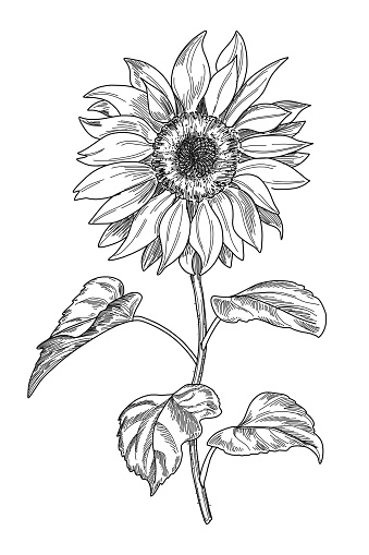 Sketch pen and ink vintage sunflower illustration, draft silhouette drawing, black isolated on white background.